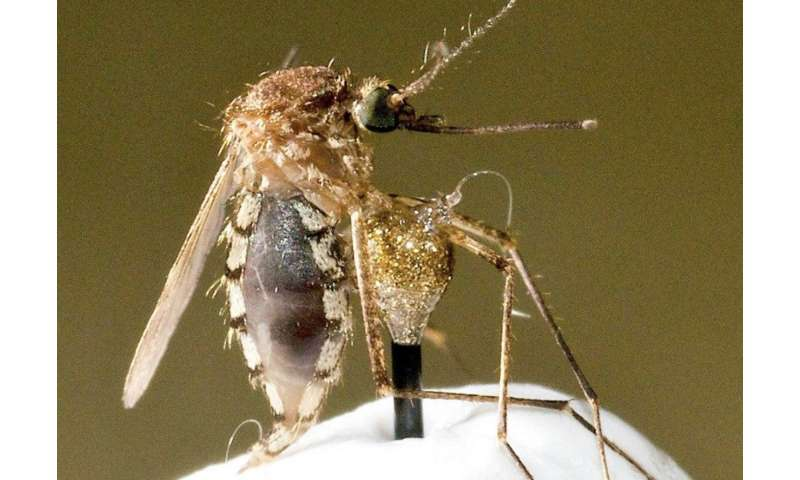 Discovered mode of drinking in mosquitoes carries biomedical implications