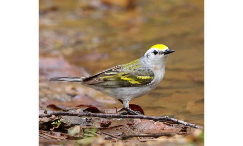 Discovery: Rare three-species hybrid warbler