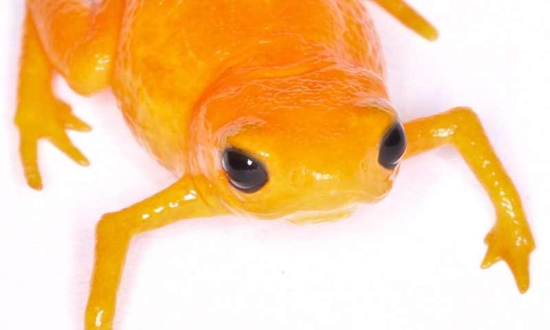 Disease afflicting frogs becoming deadlier