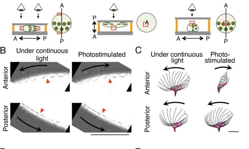 'Division of labor' between hemispheres of multicellular spheroidal alga controls light-sensitive movement