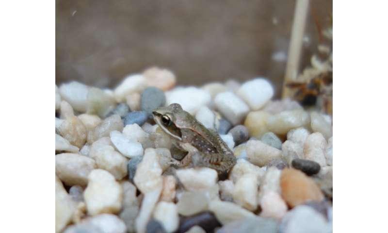 Do neonicotinoids inhibit the development of anti-predatory behaviors in wood frogs?