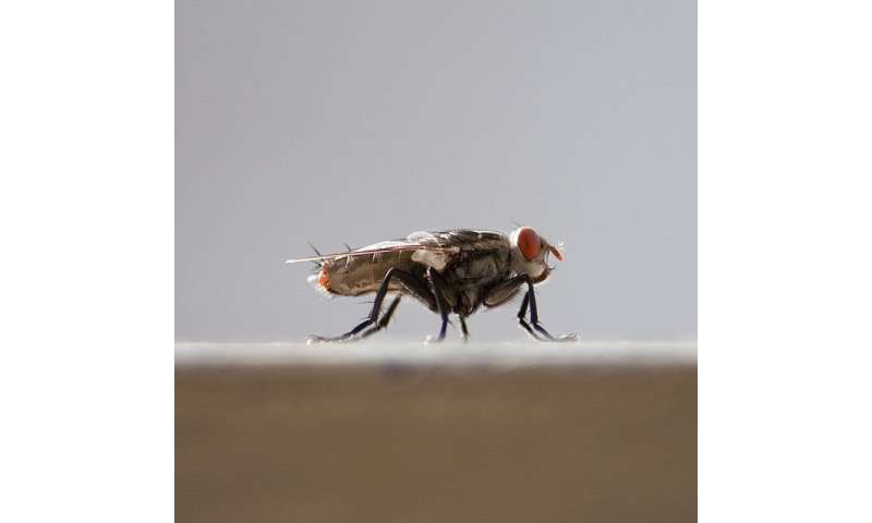 Double stranded RNA treatment can reduce fertility of adult house fly pests