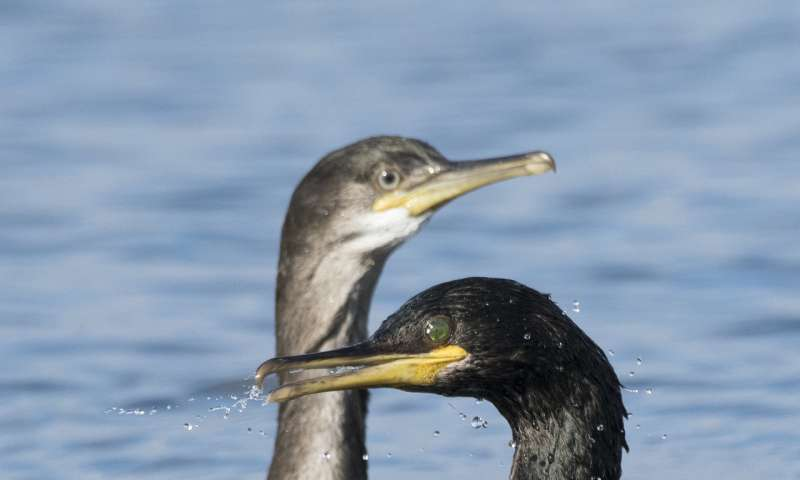 Dramatic change in seabirds' winter food source over past 30 years