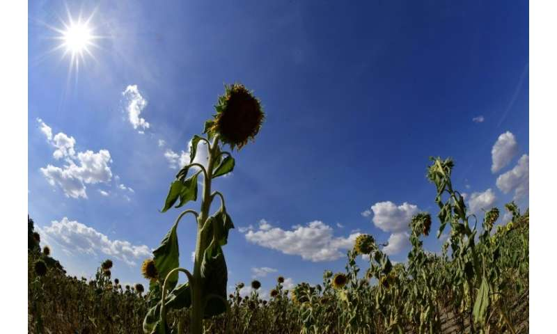 Dried sunflowers in a field near Magdeburg, eastern Germany on July 26, 2018