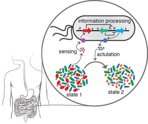 Dynamic modeling helps predict the behaviors of gut microbes