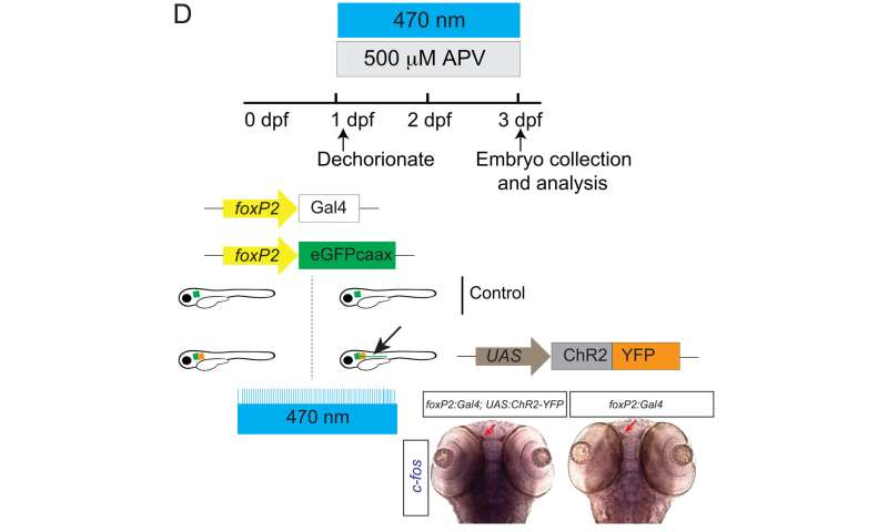 Early environment may shape axon pathfinding
