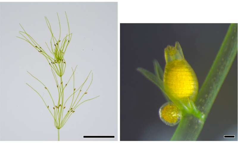 Elucidating the Chara genome: Implications for emergence of land plants in Paleozoic era