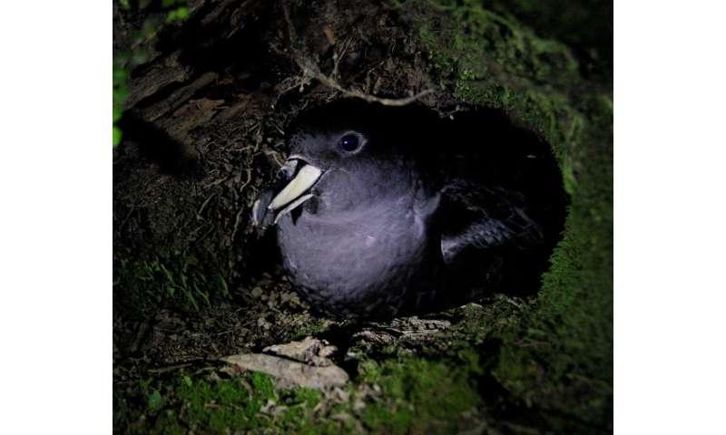 Endangered petrels and trawl fishing clash in Tasman sea