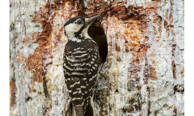 Endangered woodpeckers persist, but still struggle, on private land