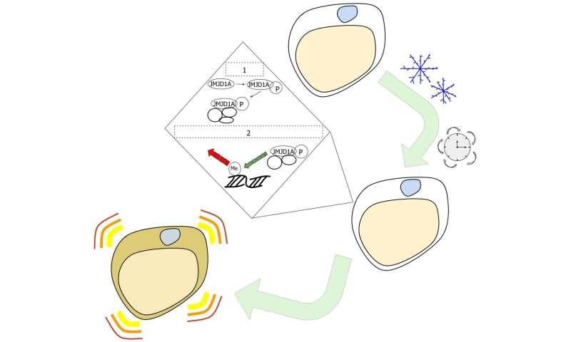 Enduring cold temperatures alters fat cell epigenetics