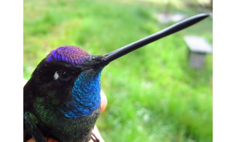 Evolution -- and skill -- help hefty hummingbirds stay spry