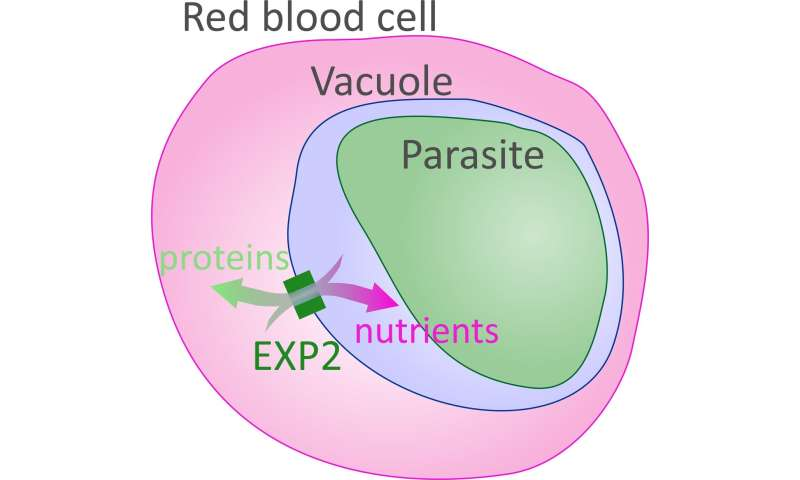 EXP2 protein helps deadliest malaria parasite obtain nutrients during infection