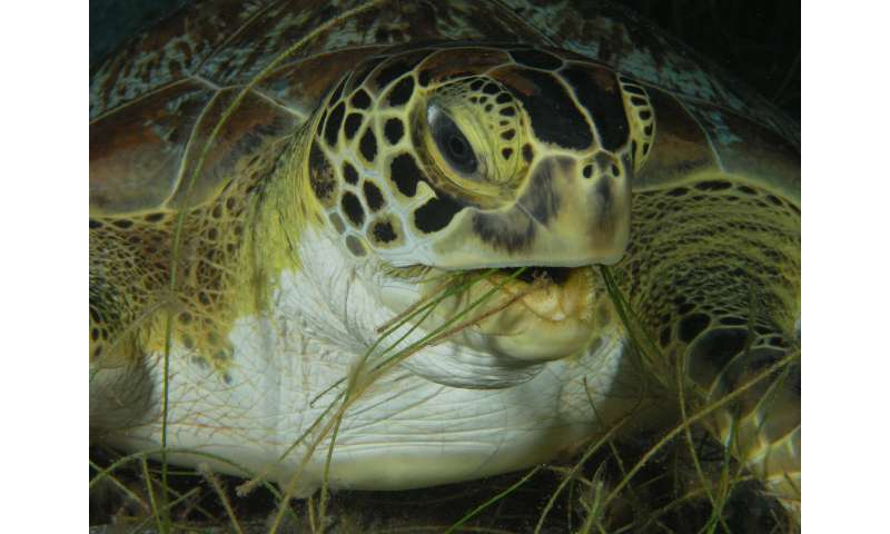 Extensive seagrass meadows discovered in Indian Ocean through satellite tracking of green turtles