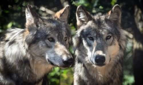 Extent of cross-breeding between wild wolves and domestic dogs across europe and asia