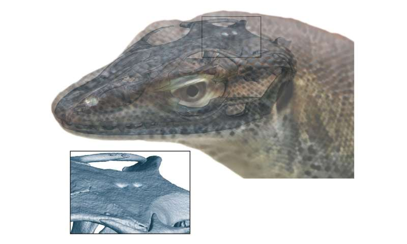 Extinct monitor lizard had four eyes, fossil evidence shows