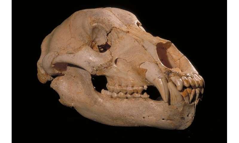 Extinct vegetarian cave bear diet mystery unravelled