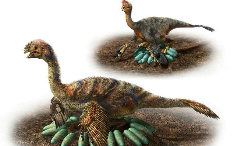 Feathered carnivores called oviraptorosaurs did not sit directly on their eggs, so as not to crush them, a new study found