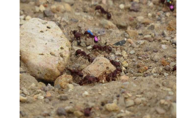 Feeding ants dopamine might make them smarter foragers