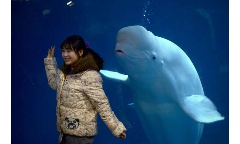 Filer of a captive beluga whale in a Beijing zoo 10/01/16. Two beluga whales performing in a Shanghai aquarium are to be flown t