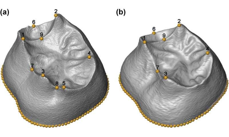 First 3-D morphometric study of the molars of sima de los huesos
