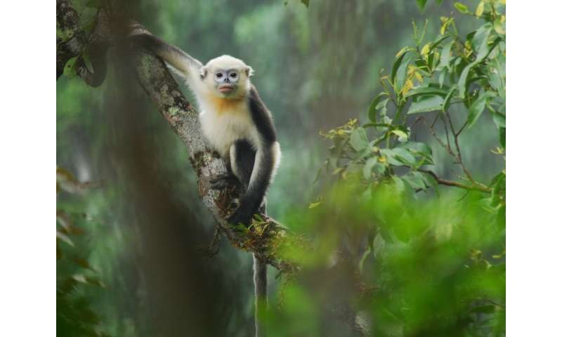 First chance to see…or last? Spectacular new footage of Vietnam's primates