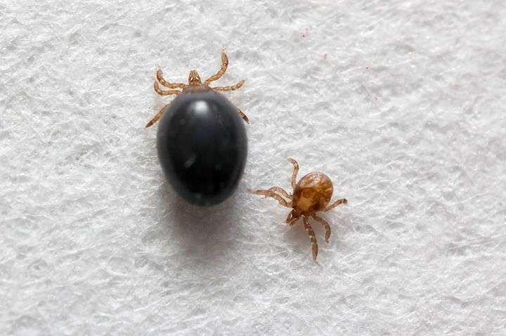 First-ever transgenic ticks to help fight tick-borne diseases such as Lyme disease