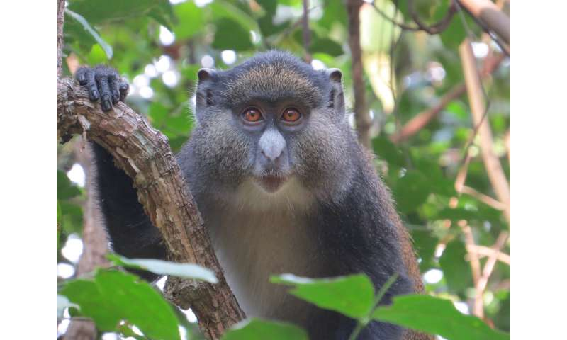 First genetic evidence of ongoing mating between 2 distinct species of guenon monkeys