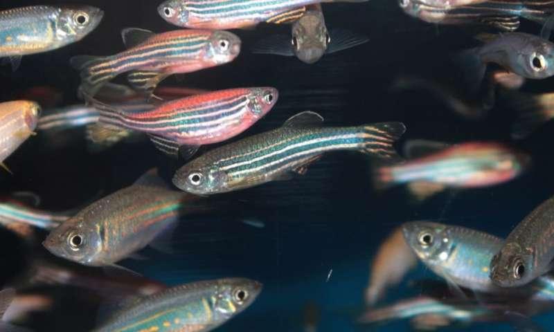 Fish genes hold key to repairing damaged hearts