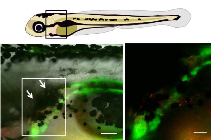 Fish 'umbrella' protects stem cells from sun