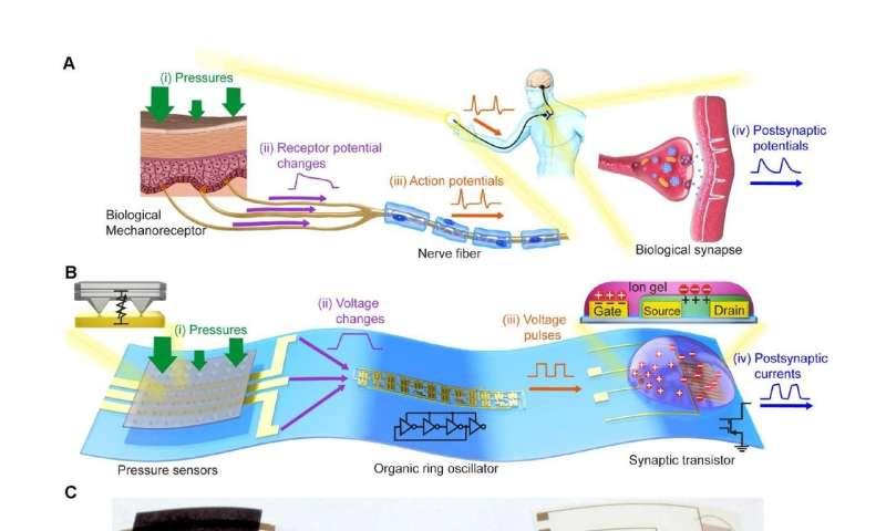 Flexible organic electronics mimic biological mechanosensory nerves