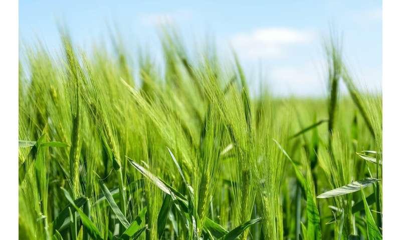 food crop