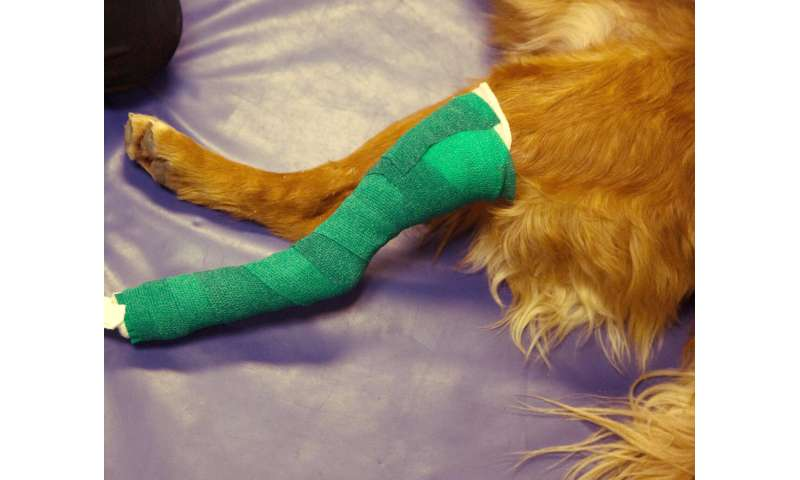 For fewer cast-related ailments in dogs, researchers find taller casts a better fit
