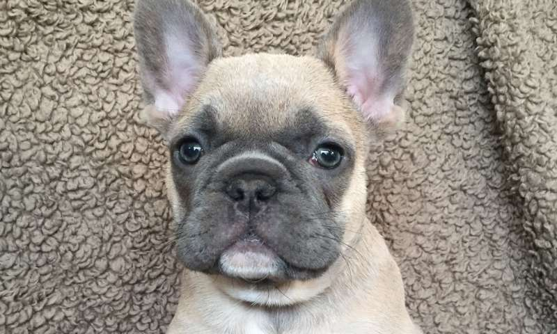 French bulldogs at risk of various health problems