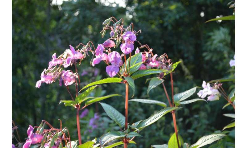Fresh insight into invasive plant that blights UK rivers