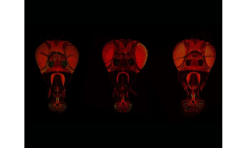 Fruit fly hunger games: Taste neurons in control