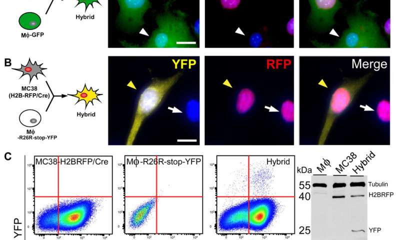 Fusion Hybrids: A Newly Discovered Population of Tumor Cells
