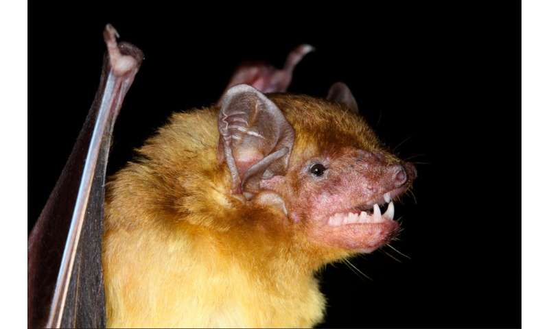 Fuzzy yellow bats reveal evolutionary relationships in Kenya