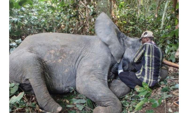 Gabon boasted 45,000 elephants a decade ago, the biggest forest population in central Africa but has since lost 15,000 to poachi