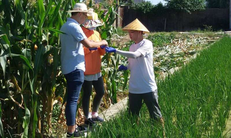 Gene boosts rice growth and yield in salty soil