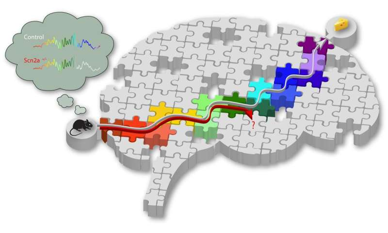 Gene linked to intellectual ability affects memory replay in mice