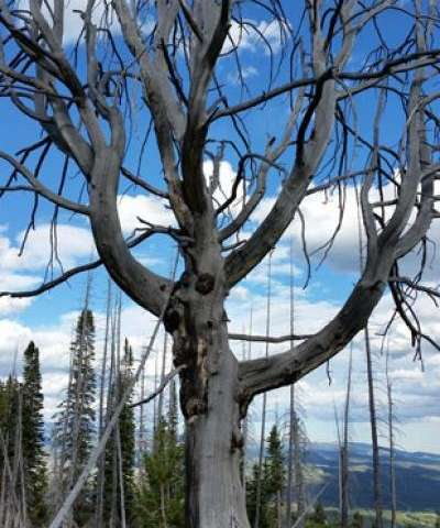 Genetic breakthrough by CU Denver scientists will aid whitebark pine conservation efforts