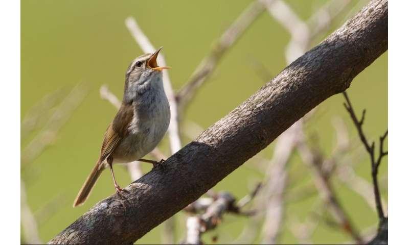 Genetic drift caught in action in invasive birds