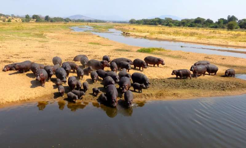 Global change may alter the way that hippos shape the environment around them: study