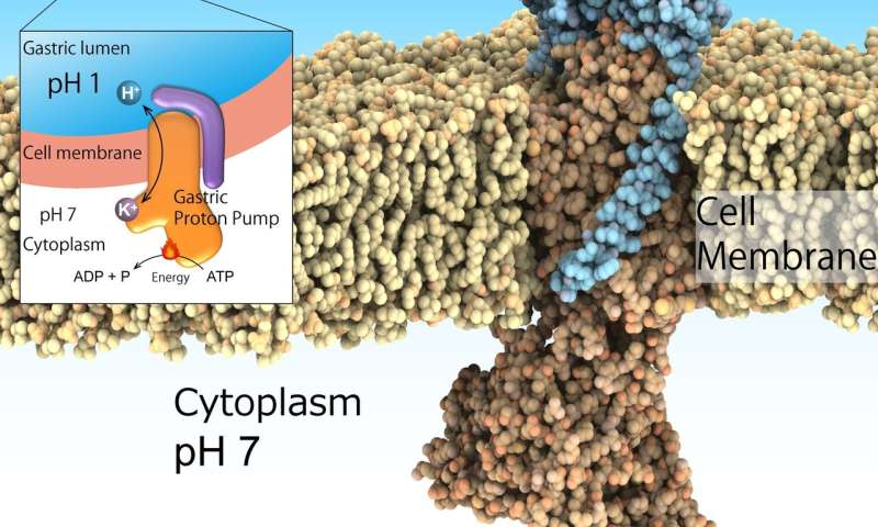 Global first determination of crystal structure of gastric proton pump