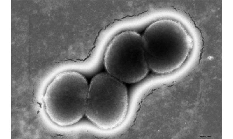 Gonorrhea researchers identify novel route to vaccine, new antibiotic