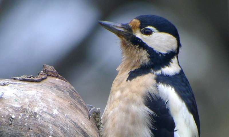Great spotted woodpeckers may recognize each other individually by drumming rhythms