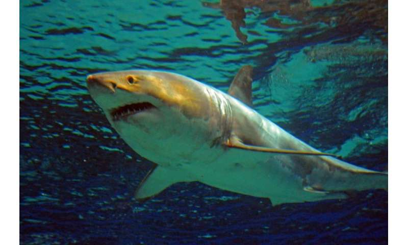 Great white sharks have been a protected species in Australia since 1999, when signs emerged of a long-term decline in their pop