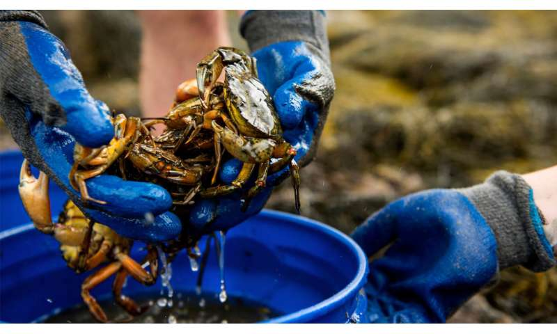 Green crab predation identified as cause of Maine clam decline