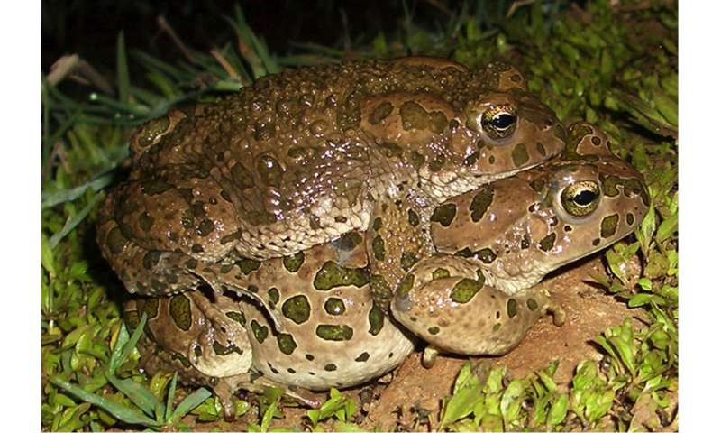 Green toads with multiple genomes have ancestors that are only distantly related