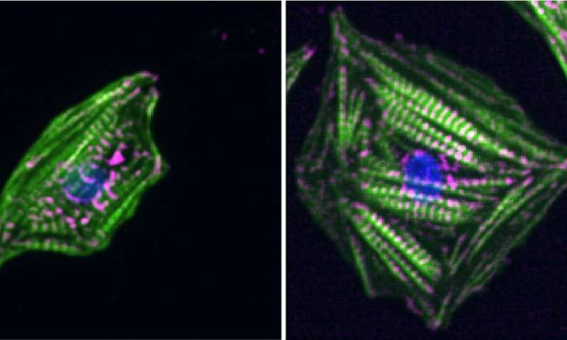 Heart cells sense stiffness by measuring contraction forces and resting tension simultaneously